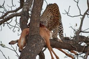 Leopard at Simbavati River Lodge