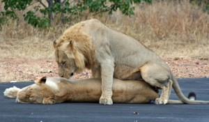 Lions mating at Simbavati River Lodge