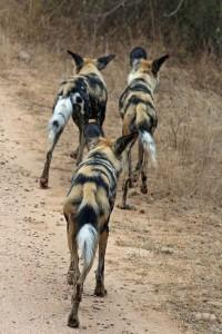 Wild Dog on Kruger Safari