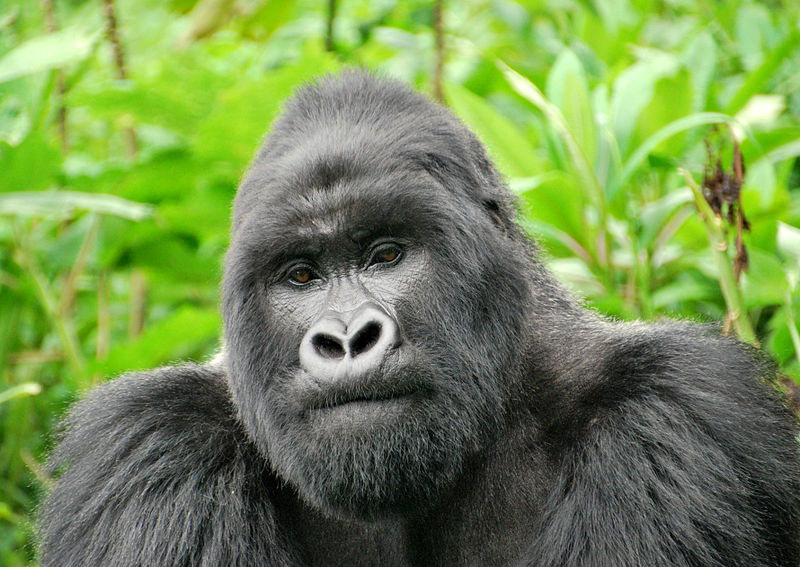 African silverback gorilla - photo#2
